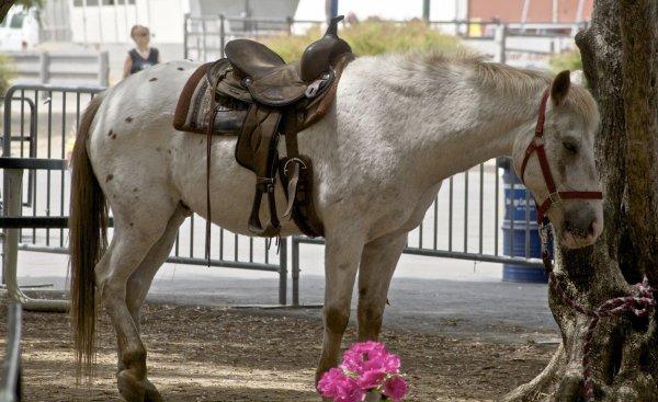 Le poney des Amériques