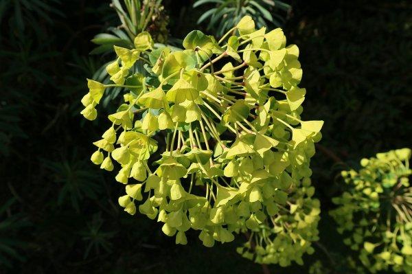 La cyme composée de cyathes d'une euphorbe des garrigues (Euphorbia characias)