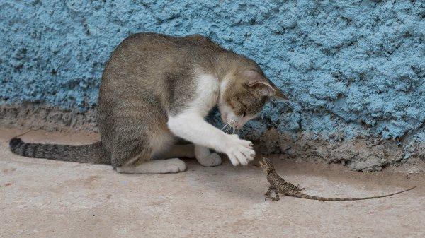 Un chat jouant avec un agame arlequin, au Laos
