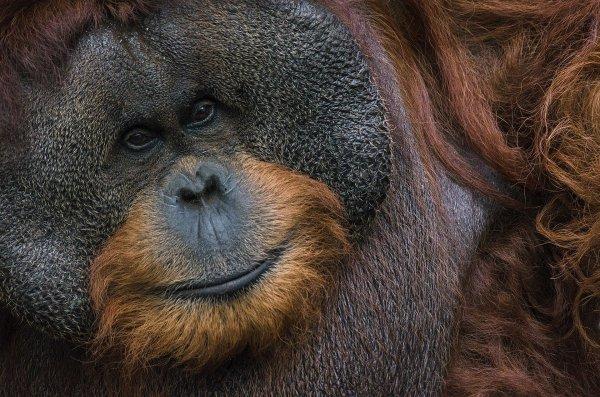 Portrait d'un orang-outan de Bornéo (Pongo pygmaeus wurmbii), photographié à Bogor. L'espèce est considérée en danger critique d'extinction