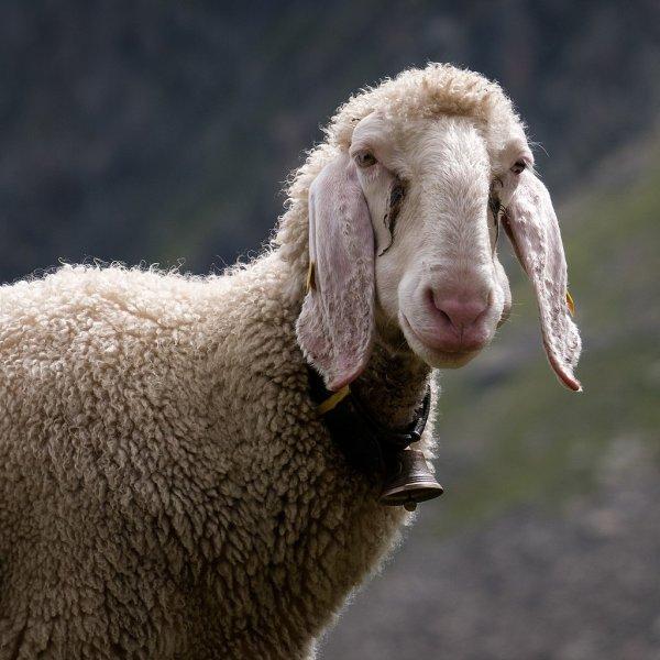 Un mouton du Tyrol