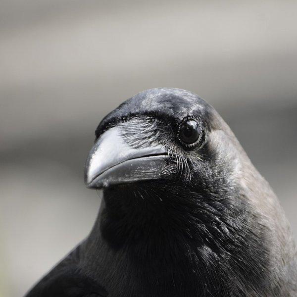 Un corbeau familier (Corvus splendens)
