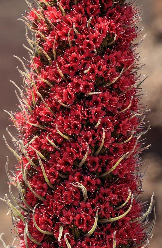 Détail de l'inflorescence en cyme scorpioïde d'une vipérine de Tenerife