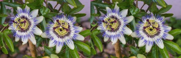 Image stéréoscopique de fleurs de passiflore bleue
