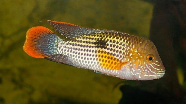 Poisson cichlidé de l'espèce Andinoacara rivulatus