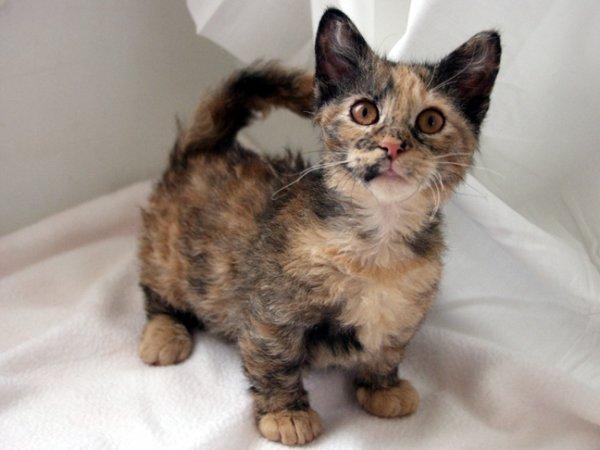 Les races de chats domestiques le skookum les animaux - Prix chat munchkin ...