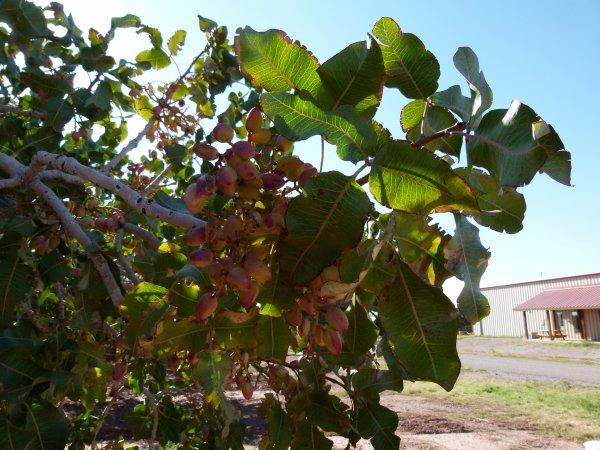 ;)    Les pistaches de Alamagordo    ;)