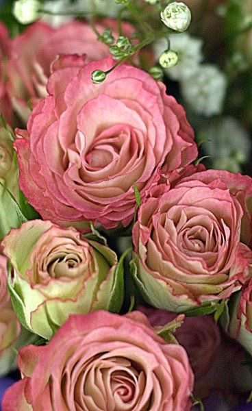 les roses anciennes