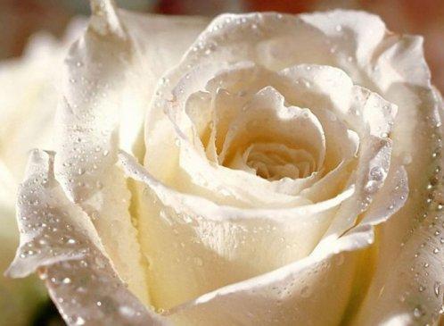 MON  AMIE..LA  ROSE..