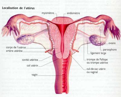 L'utérus :