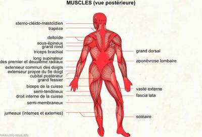 grand fessier anatomie