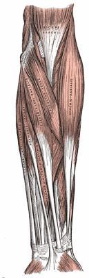 L'avant bras : loge antérieure