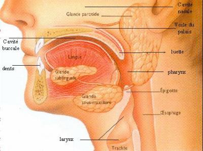 La région orale :