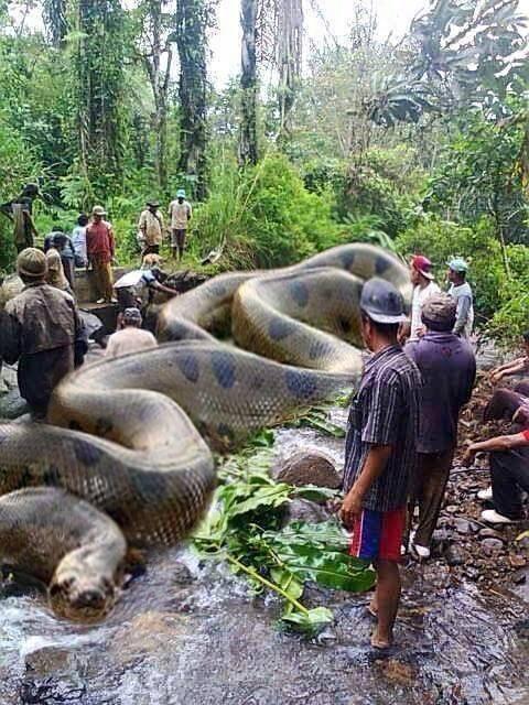 Le plus grand serpent que l'on trouve dans la rivière Amazone. Il a tué 257 humains et 2325 animaux. Il fait 134 mètres de long et 2067 kg. Les commandos britanniques royaux de l'Afrique ont pris 37 jours pour le faire tuer.