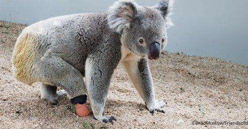 En Australie, un koala né avec une malformation obtient une prothèse de pied