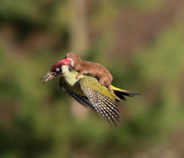 Cette image d'une belette semblant voler sur le dos d'un pic-vert a fait le tour d'Internet. Mais, loin de rêver de toucher le ciel, la belette voulait simplement manger.