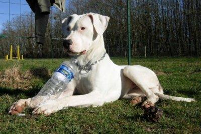 voici quelques photos de dog argentin
