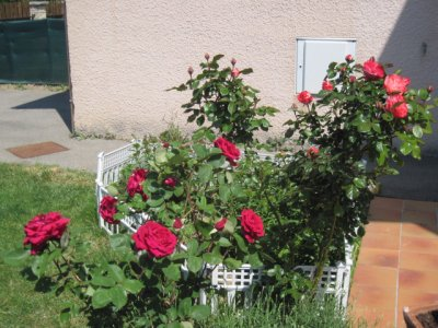 une belle rose