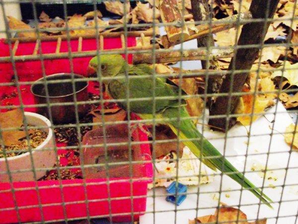 quelques bec crochu present pour l'exposition riorges 2011