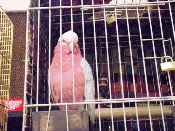 les perroquets et loris present lors de l'exposition riorges 2011