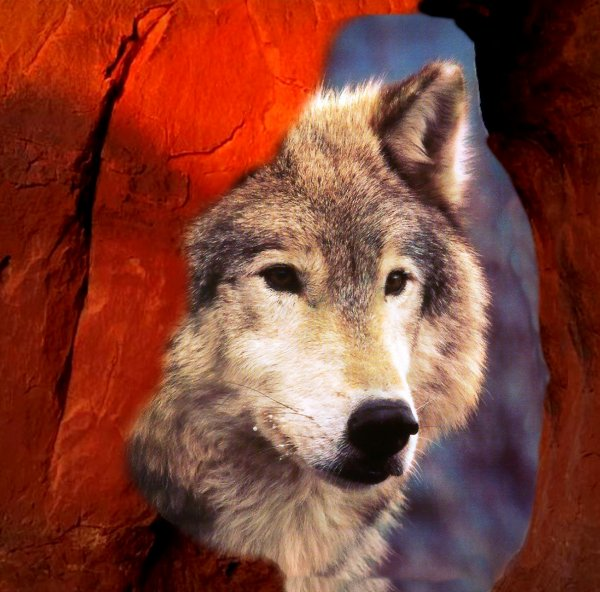Le loup et notre culture
