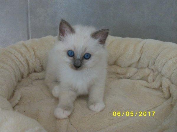 femelle blue point,réservée pour Myriam