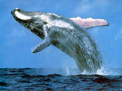 Polémique autour de la reprise de la pêche japonaise à la baleine