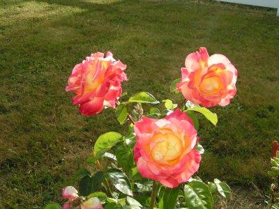les roses et autres fleurs  de mon jardin