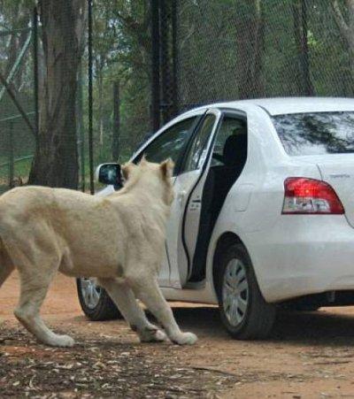 Les occupants d'une voiture voient un lion ouvrir leur portière