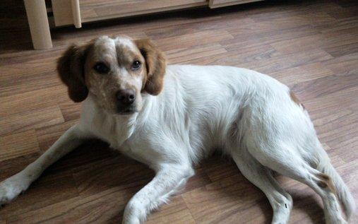 Animal perdu - Faya chien epagnol breton Femelle - digosville