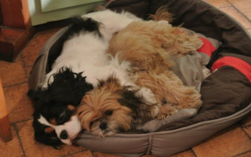Animal perdu - Candy chien Lhassa apso Femelle - La çroix valmer