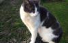 Animal perdu - Isis chat Européen Femelle - Gournay en Bray