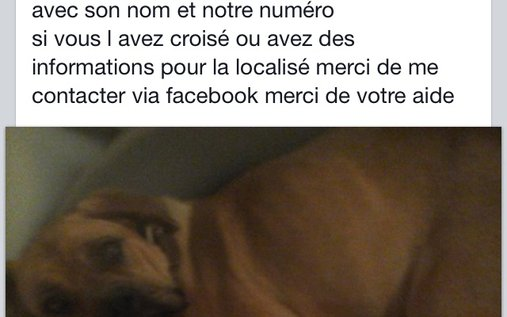 Animal perdu - Chelsea chien boxer Femelle - St germain la campagne