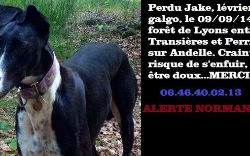 Animal perdu - Jake chien Lévrier Galgo Mâle - Vandrimare