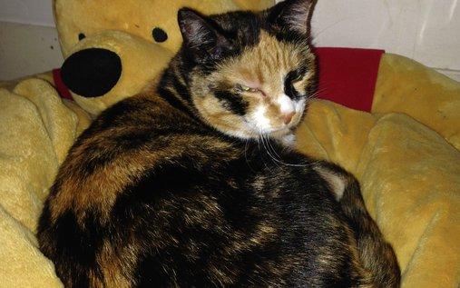 Animal perdu - zia chat chat d'europe Femelle - gaillon