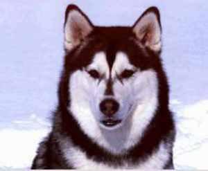 § Les 4 race de chiens nordique §