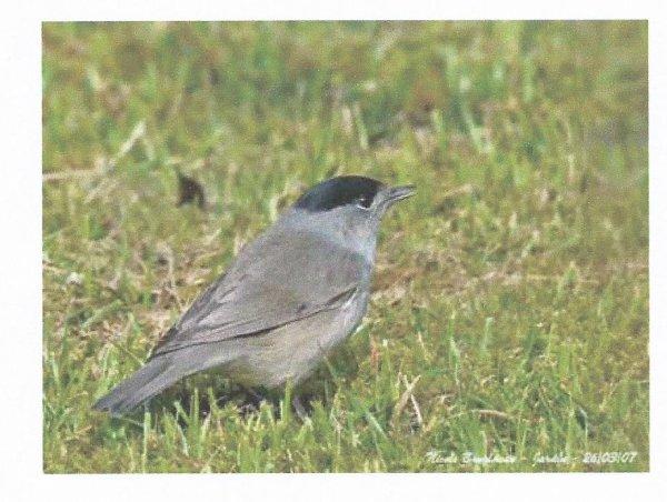La fauvette t te noire lapierredefontaine for Oiseau tete noire