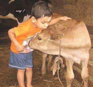 cow in indian children