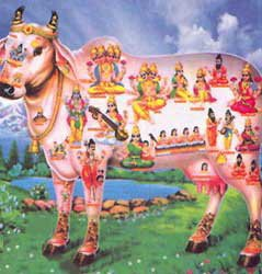 indian cow the god