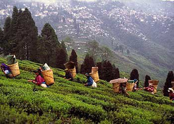 Tea Plantations In Darjeeling,in india
