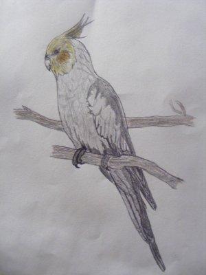 Voici un de mes dessins perruche ondulee007 - Coloriage perruche ...