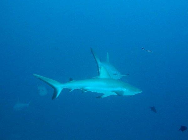 Demandez des requins...