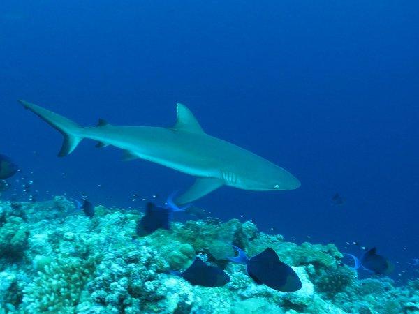 Requin et Odonus nigers