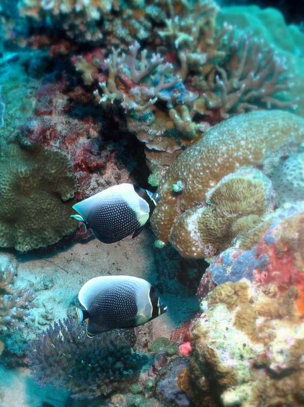 Beau couple de poissons papillon