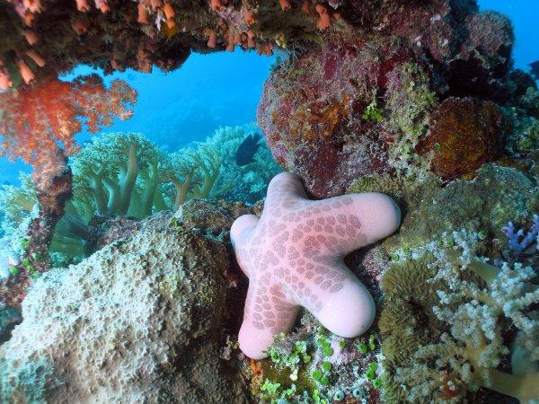 Choriaster Granulatus communément appelée étoile coussin granuleuse