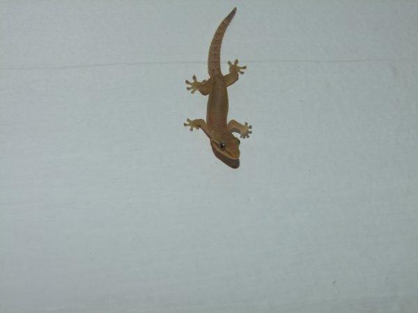 Dans certains pays, les Geckos sont considérés comme sacrés, et portent bonheur.