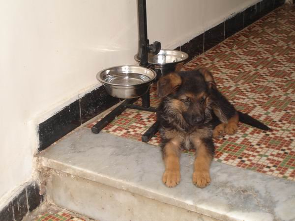Enzo Chiot Berger Allemand