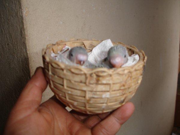 Trois Perruchons
