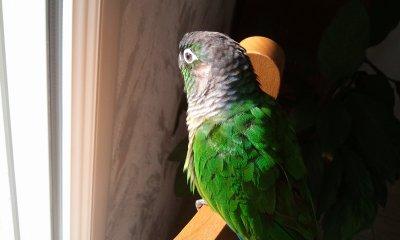 Carte d'identité de Kiwi, la conure à joues vertes