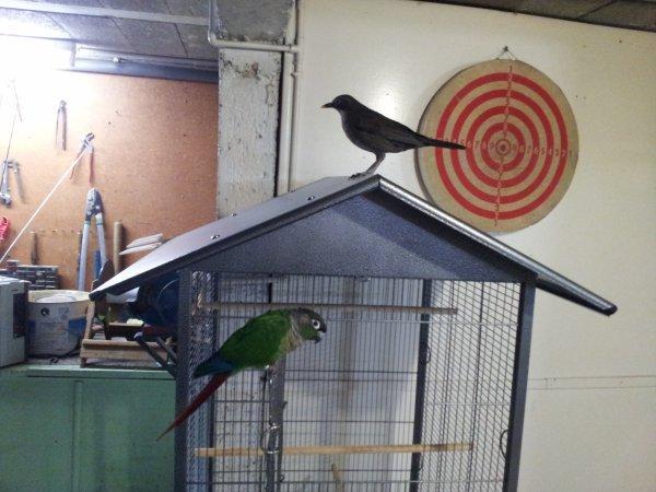 La cohabitation entre Merlue et Kiwi